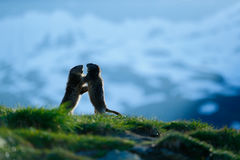 Two marmots in mountain landscape with beautiful back light. Fighting animals Marmot, Marmota marmota, in the grass with nature ro Royalty Free Stock Photography