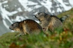 Two marmots in mountain landscape with beautiful back light. Fighting animals Marmot, Marmota marmota, in the grass with nature ro Stock Photos