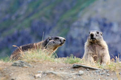 Two marmots. In the mountains of Austria Stock Image