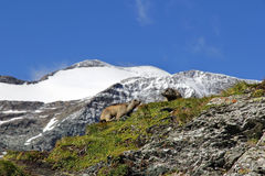Two marmots in the mountains Royalty Free Stock Photo