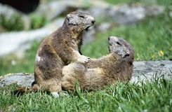 Two marmots playing. Sideways two marmots playing in french alps Royalty Free Stock Photography