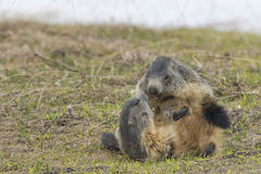 Two Marmots while playing Royalty Free Stock Photography