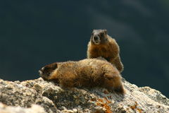 Two Marmots on a Rock. Two members of a yellow-bellied marmot family on their rock Stock Photos