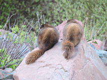 Two Marmots Turning Their Backs Stock Photos