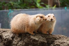 Two Marmots. At Ueno Zoo Tokyo Japan Stock Photos