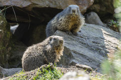 Two marmots. In the wildpark Stock Image