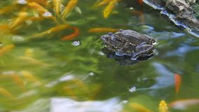 Two marsh frogs in the pond during the mating season stock footage