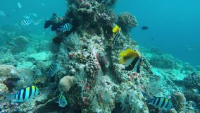 Two Masked bannerfish and some Indopacific Sergeant. Swim in the coral reef stock video