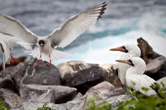 Two masked boobies on a rock and one swallow Royalty Free Stock Image