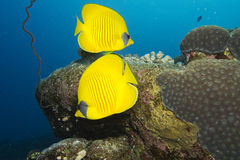 Masked butterfly fish. Two masked butterfly fishes, red sea Stock Images