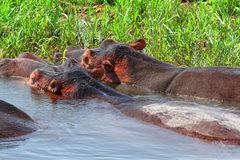 Massive Hippos in the water next to shore. Two massive hippos, seen from the behind, partially out of the water right next to the grassy shore stock photos
