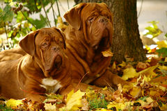 Two mastiff. Stock Photography