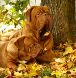 Two mastiff. Stock Image