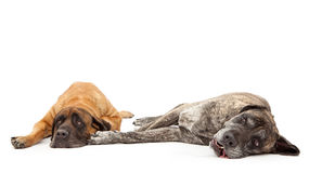 Two Mastiff Dogs Laying Together Stock Photo