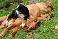 Two mastiffs and pup. Stock Images