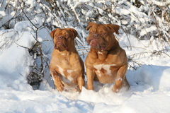 Two mastiffs on to snow. Two dogs on a background winter landscape. Two mastiffs on to snow Stock Photo