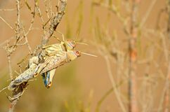Free Two Mating Acrididae Grasshoppers On Desert Tree In Pale Background Royalty Free Stock Photos - 170680968