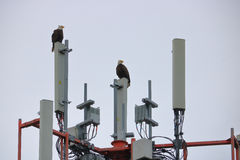 Two Mating Bald Eagles and a Transmission Tower Stock Images