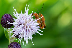 Two mating bugs. Royalty Free Stock Photo
