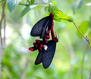 Two Mating Butterflies Royalty Free Stock Image