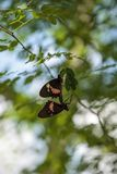 Two mating Common rose butterfly Pachliopta aristolochiae. Hang from a leaf on a tree in a garden stock image