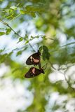 Two mating Common rose butterfly Pachliopta aristolochiae. Hang from a leaf on a tree in a garden royalty free stock photo