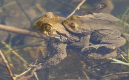 Two mating Common Toads Bufo bufo submerged in the water spawning at the edge of a lake on a sunny spring day. Two stunning mating Common Toads Bufo bufo Stock Photo