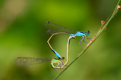 Two mating damselflies Royalty Free Stock Photo