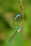 Two mating damselflies Royalty Free Stock Image