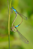 Two mating damselflies Stock Image