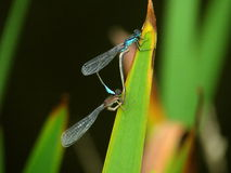 Two mating damselflies Royalty Free Stock Images