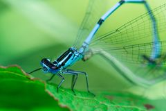 Free Two Mating Damselflies On A Leaf Stock Images - 151522484