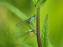 Two mating damselflies Royalty Free Stock Image
