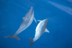 Two mating dolphins Royalty Free Stock Image