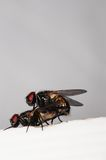 Two mating flies Royalty Free Stock Images