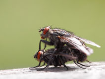 Two Mating Flies Stock Photos