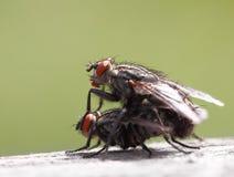 Two mating flies Stock Photos