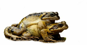 Two mating frogs Stock Images