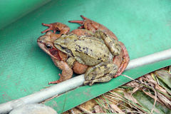 Two mating frogs. Frog spawning migration protection - two mating frogs are found behind the frog fence royalty free stock photo