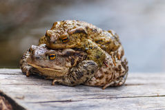 Two mating frogs. Stock Image