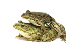 Two mating frogs Stock Photos