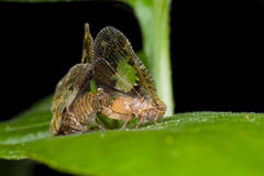 Two mating planthoppers Royalty Free Stock Photo