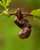 Two mating snail Stock Photos