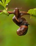 Two mating snail. Arianta arbustorum Stock Photos