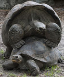 Two Mating Tortoises Royalty Free Stock Photo
