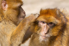 Two mature Barbary Macaque grooming Royalty Free Stock Photo