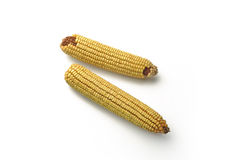 Two Mature maize ears Stock Photography