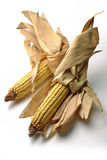 Two Mature maize ears Stock Image