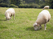 Two mature sheep grazing in a field with others in the background Royalty Free Stock Photography