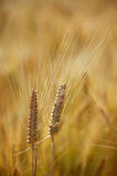 Two mature wheat heads stock photos